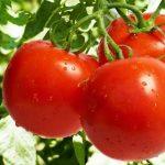 Названы лечебные свойства помидоров